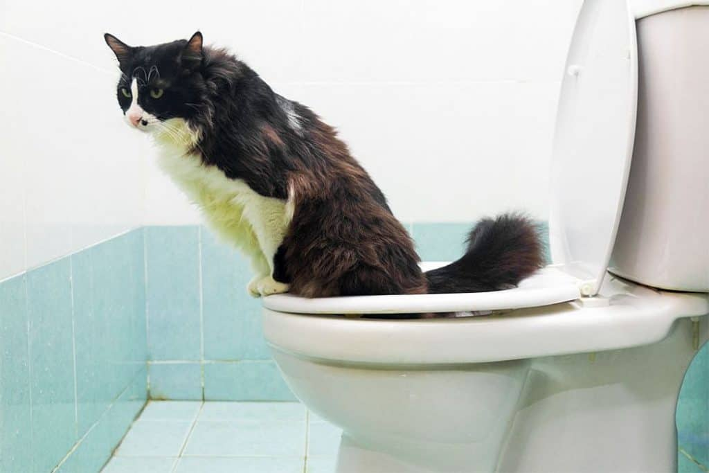 Cats Toilet Effectively