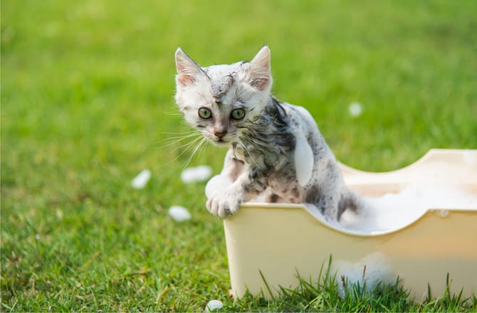 Bathe A Kitten From An Early Age